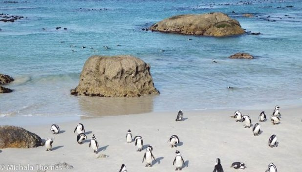 Boulders Penguin Colony, Cape Point Tour