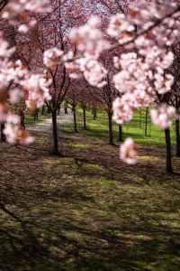 parco di Kyoto con viale pieno di ciliegi in fiore