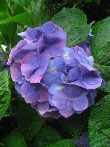 hydrangea-ajisai pioggia pioggia In Giappone esistono 50 parole per dire pioggia. in giappone il mio viaggio in giappone traveltherapists blog giappone miglior blog di viaggio