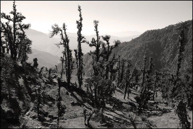 Winter forests around Lohajung Village, Uttarakhand, India