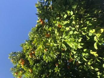 wigwam orange trees