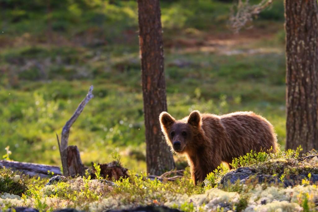 In Zweden kan je beren spotten in het nationale park Lofsdalen. (Credit: lezer Michiel Correwijn)