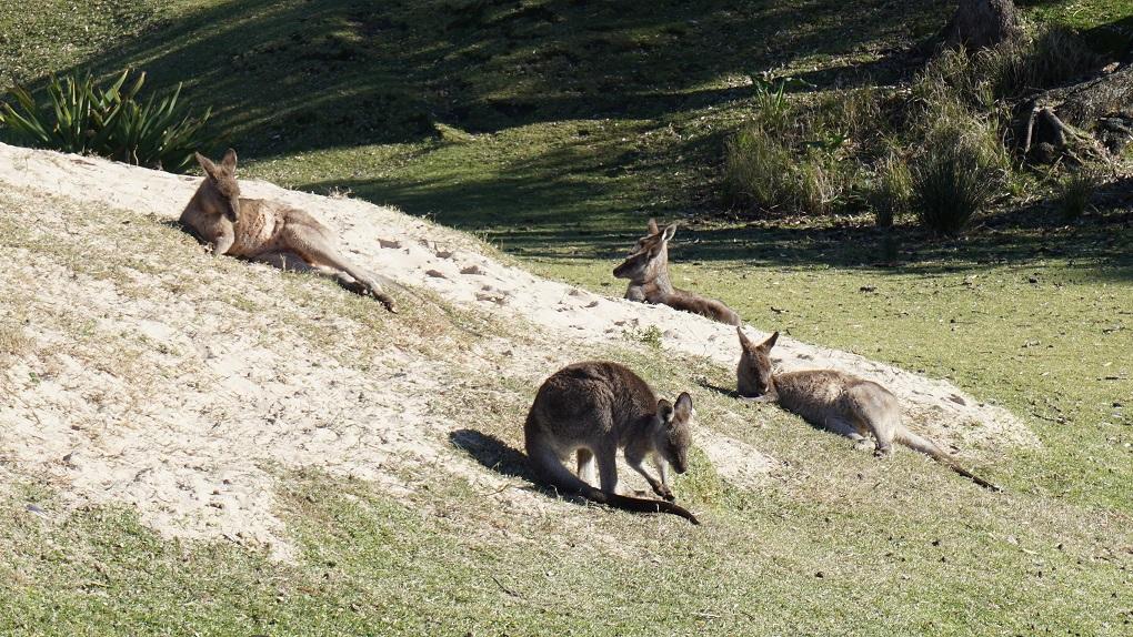 Kangoeroes op Pebbly Beach