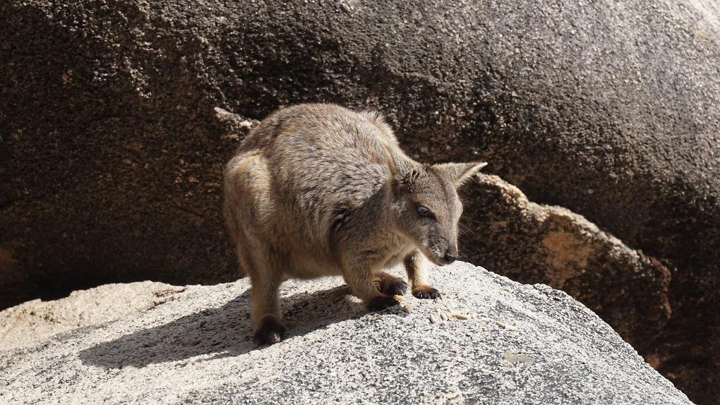 Rockwallaby op Magnetic Island