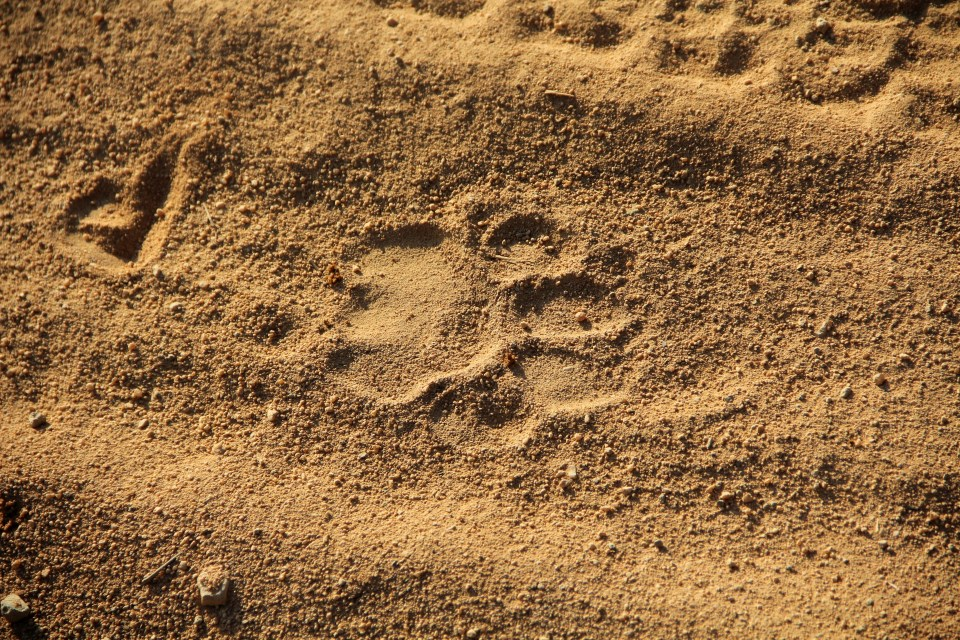 Pawprint Lion