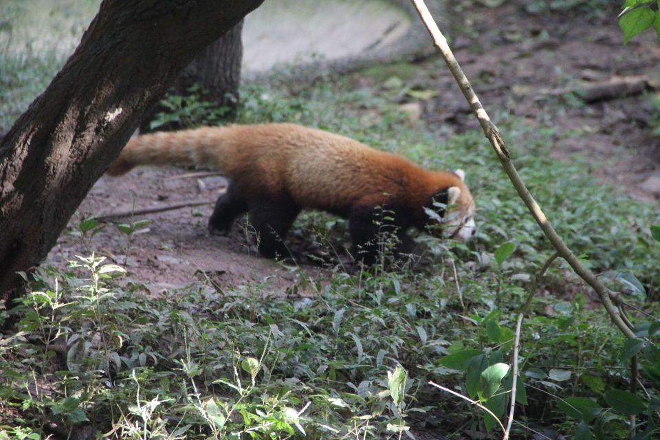 Chengdu Red Panda