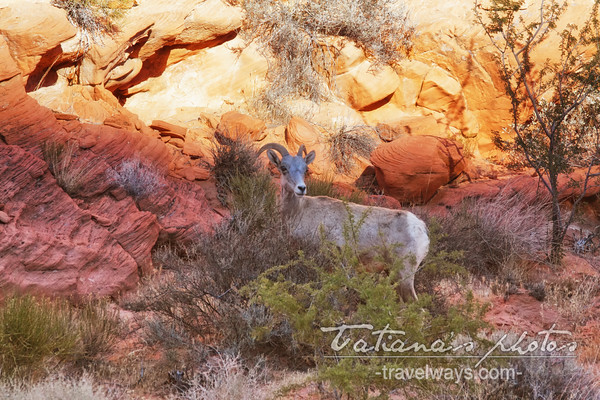 Bighorn sheep in the bushes of the Valley of Fire