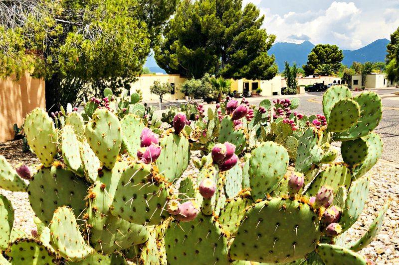 Monsoon season in Arizona: prickly pear