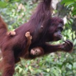 Borneo Orangutans and Out & About in Kuching