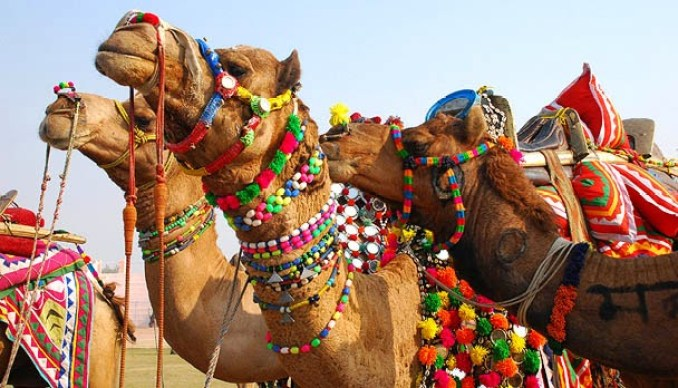 Camels in Rajasthan,India