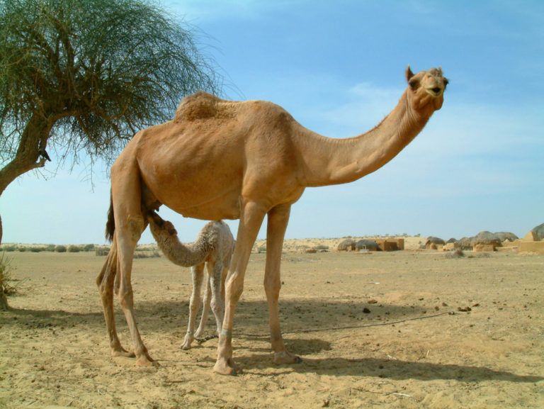 Camels of Rajasthan, India