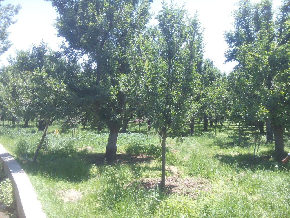 Apple Orchard, Kashmir, India