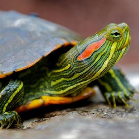 Trachemys-Scripta-Elegans-or-Red-eared-Slider-Pic-©-Lagos-Zoo-Portugal