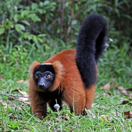Varecia-Rubra-or-Red-ruffed-Lamur-Pic-©-Lagos-Zoo-Portugal