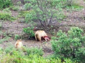 Grizzlies on caribou kill
