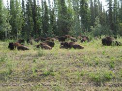 Wood bison herd