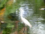 Little Egret At Hesaraghatta Lake Bangalore