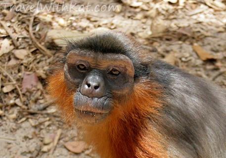Red colobus monkey, The Gambia, Gambia wildlife