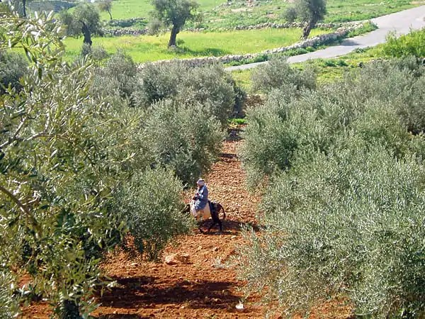 Olive Trees, West bank, Palestinian Fair Trade