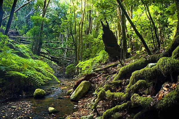 Bosque del Cedro. Parque Nacional de Garajonay. La Gomera.