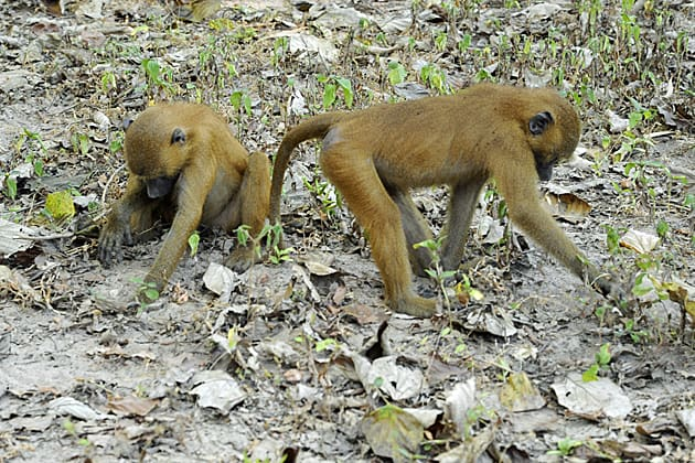 Baboons in The Gambia