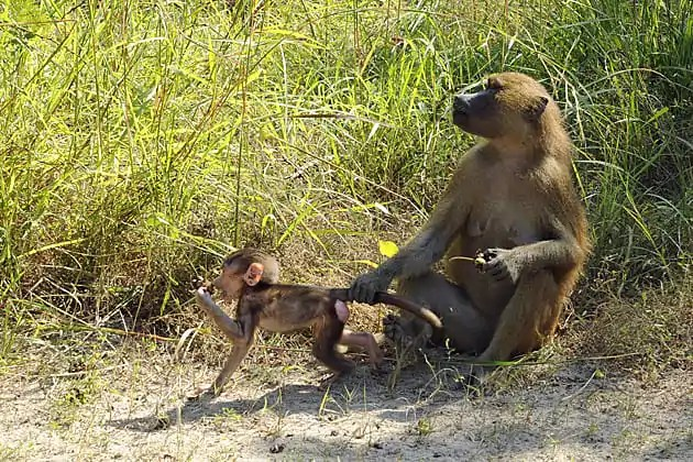 Gambia baboon facts
