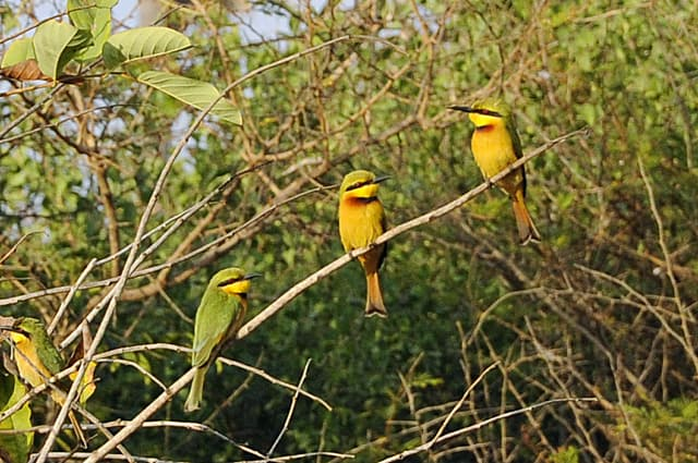 Little bee-eaters, bird watching in The Gambia - one of my top 10 things to do in Gambia on a budget