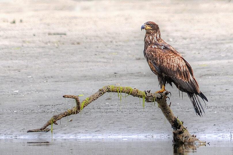 A juvenile bald headed eagle