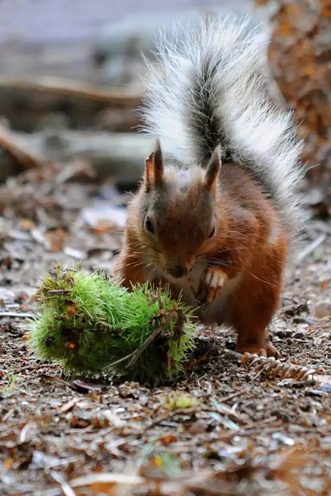 The red squirrels of Brownsea Island, Dorset, England
