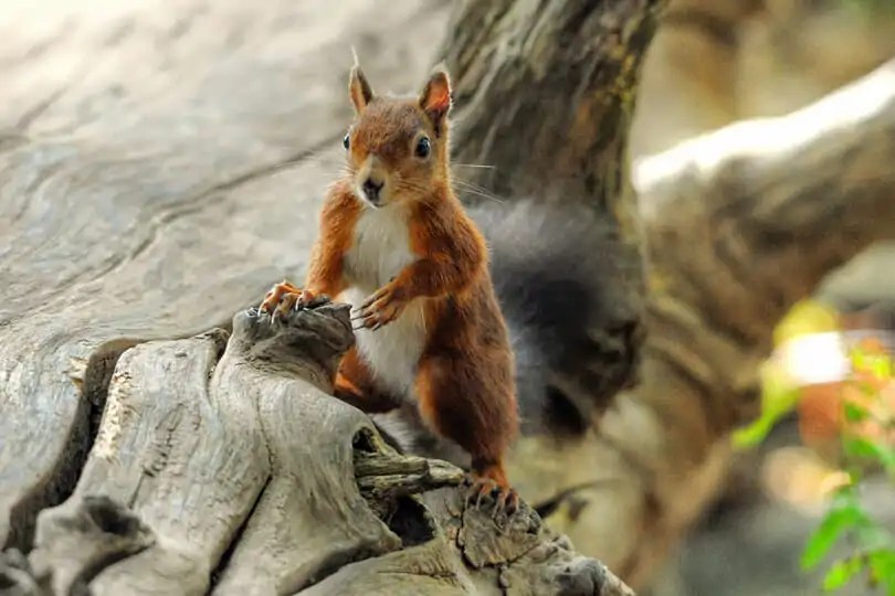 Photographing the Red Squirrels of Brownsea Island