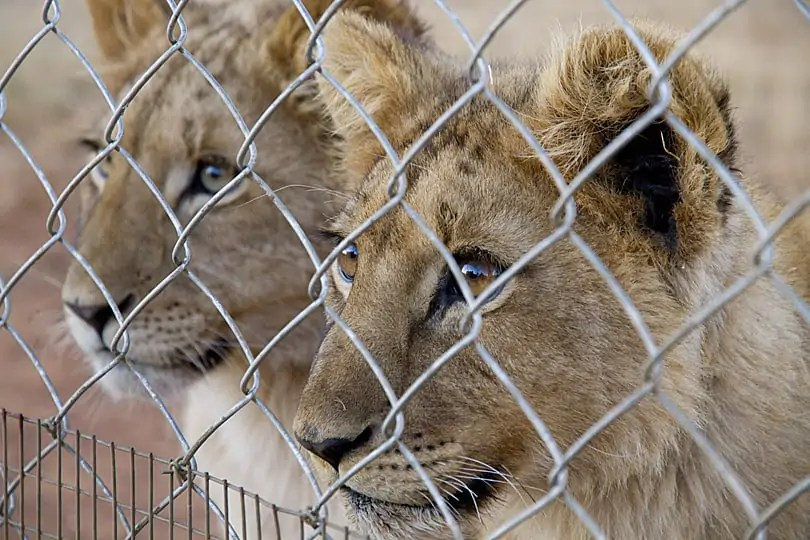 Cubs being reared for canned (captive) hunting in South Africa