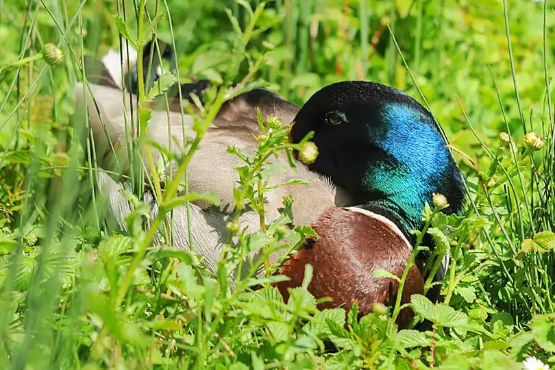Male Mallard at the Arundel Wetland Centre, West Sussex, England