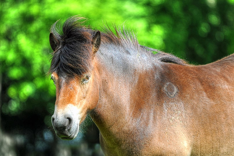Exmoor Pony at Knepp, West Sussex, England