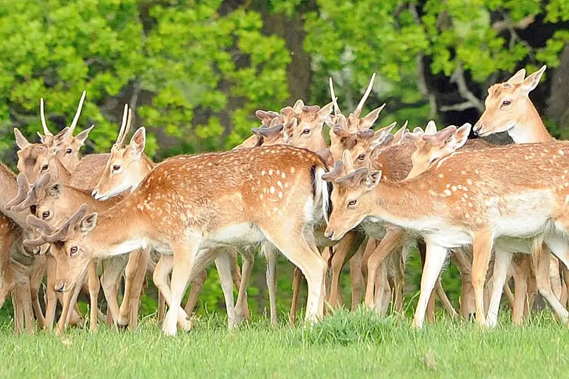 Fallow Deer at Knepp, West Sussex, England