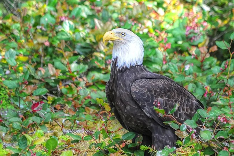 Bald Headed Eagle, Campbell River, British Columbia, Canada