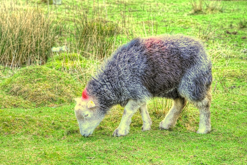 The Herdwixk sheep of the Lake District