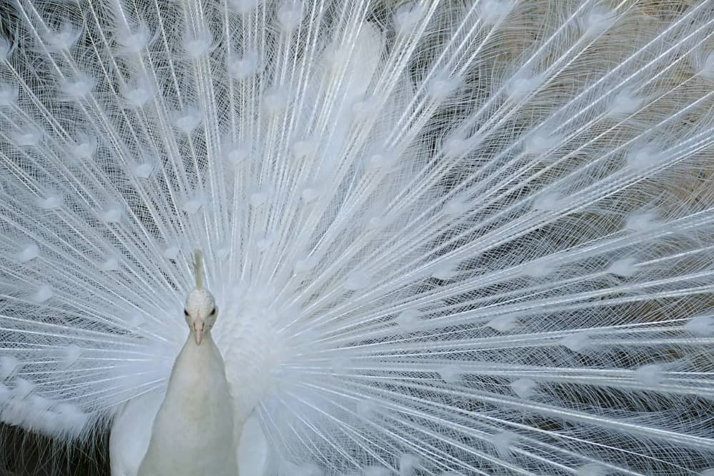 A white peacock in the grounds of Amberley Castle, West Sussex,England
