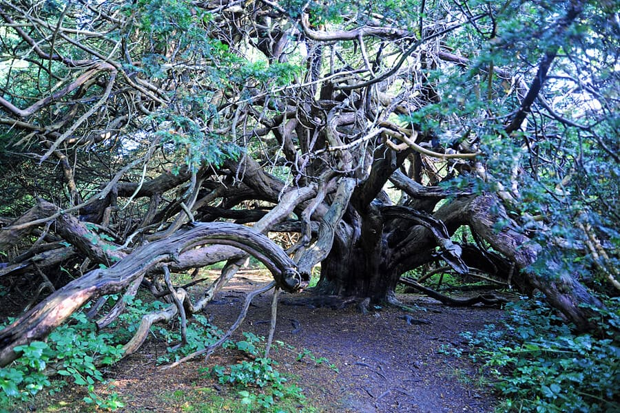 The ancient yew trees in Kingley Vale.