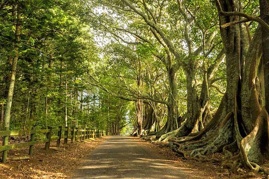 Morton Bay Fig Trees, Norfolk Island, South Pacific