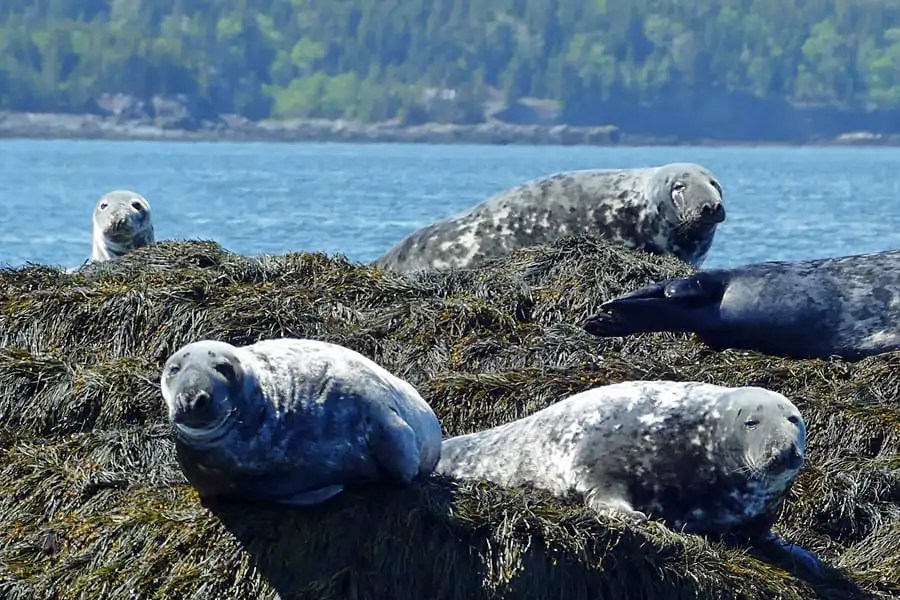 Grey Seals, Bay of Fundy, new Brunswick, Canada