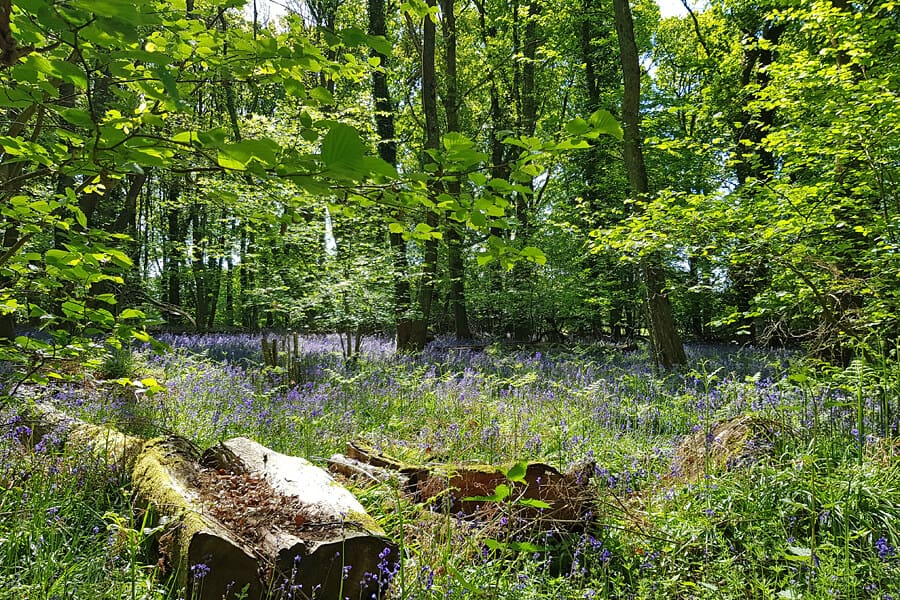Bluebell, New Forest National Park, Hampshire, UK