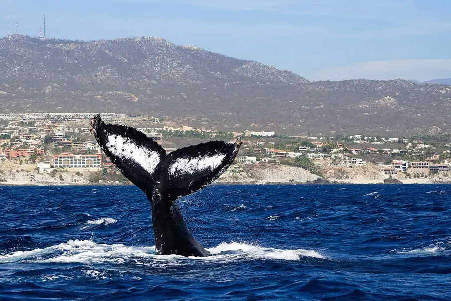 Identifying a whale but the markings on its fluke, image courtsey of Cabo Trek, Mexico