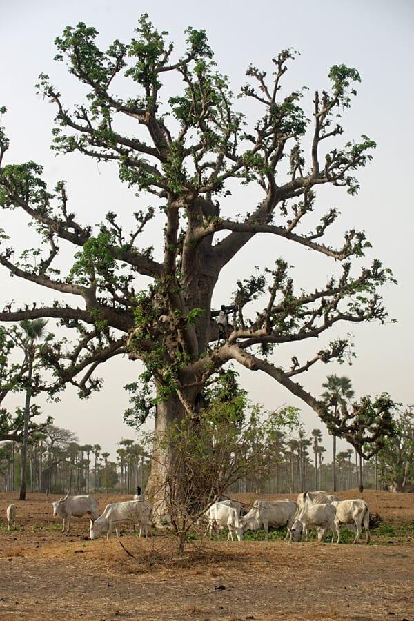 Cattle feeding on baobab leaves