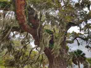 Spanish moss dripping from ancient oak trees, in Beaufort, South Carolina