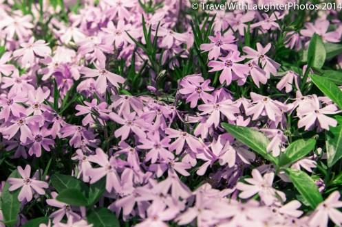 Doylestown Spring Flowers 2014-1184