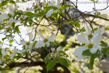 Growing up we had a white dogwood in our yard- my favorite!