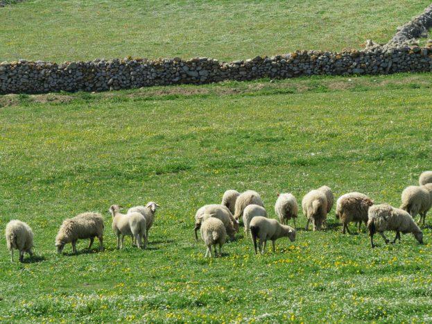 sheeps grazing in green grass