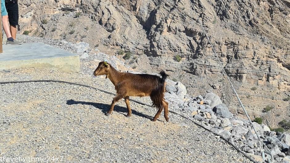 Goats at Jebel Jais Mountain range