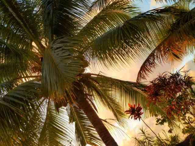 TravelwithMeraki-palm-tree-lelagoto- Savaii-Samoa-South-Pacific