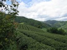 מטעי התה ליד מה סה לונג בתאילנד